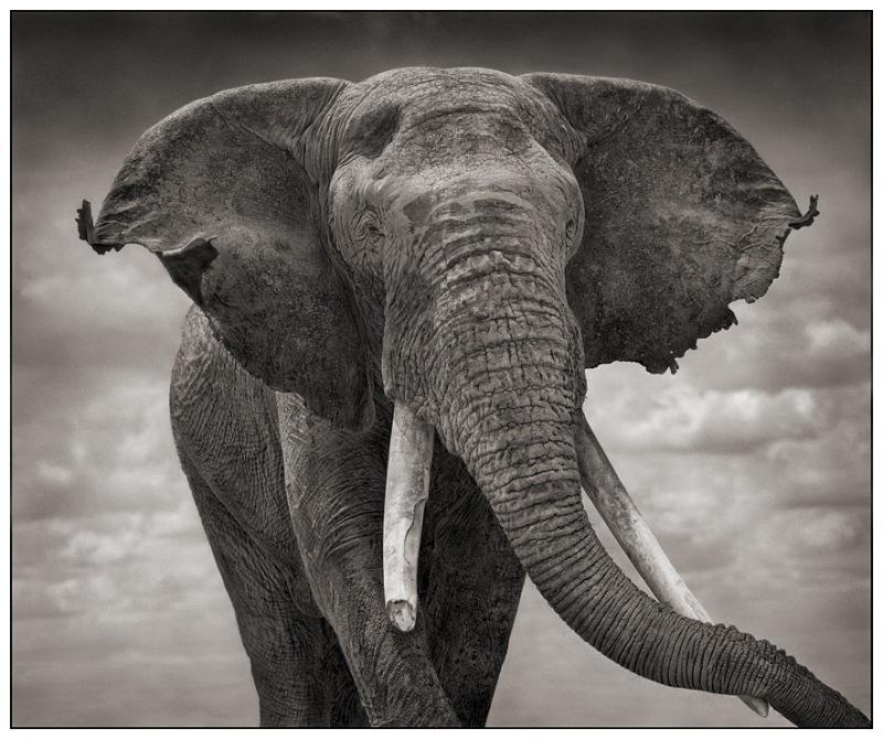 ElephantTatteredEars