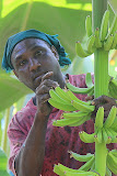 Removing The Flowers From a Banana Plant - Castries, St. Lucia
