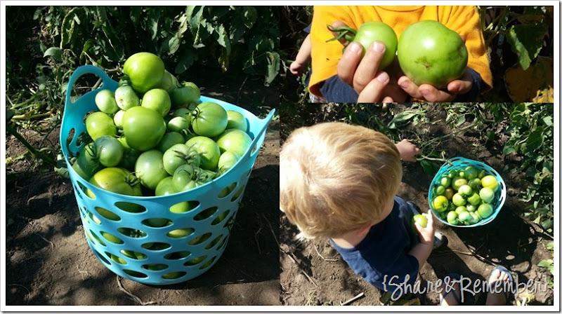 picking tomatotes
