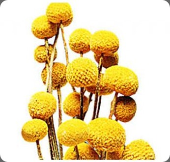 dried flower martDF200BILBTN_copy