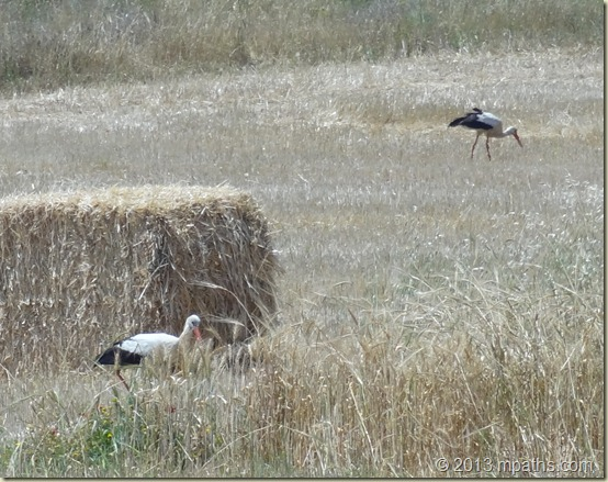 2013-04-23 Storks 001