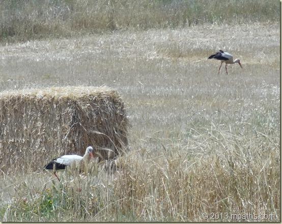 2013-04-23 Storks 001