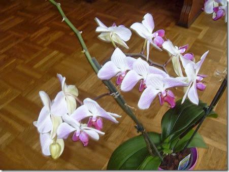 20144 Orchideen (7)