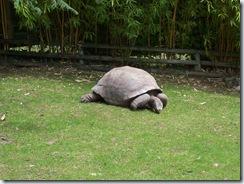 2011.07.26-012 tortue géante