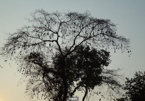 Mimosaceae : Dinizia excelsa (Angelim) dans la forêt entre Itauba et Marcelândia (Mato Grosso, Brésil), 6 septembre 2010. Photo : Cidinha Rissi
