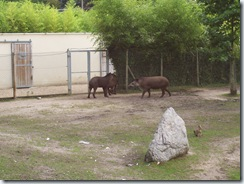 2011.07.26-065 tapirs