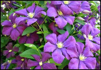 Purple Clematis5