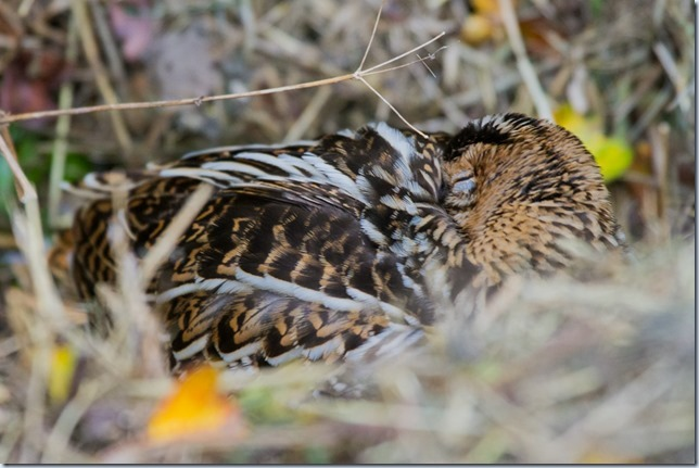 GreatSnipe_Kilnsea-5