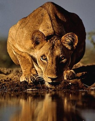 wild-lion-staring-at-camera-about-to-drink-water-396x500