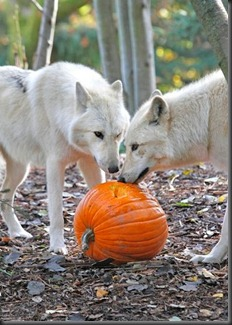 Pumpkin Bash_Woodlands Park Zoo_tumbler.com