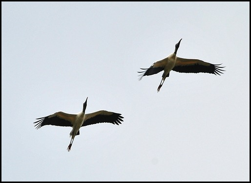 11 - Wood Storks