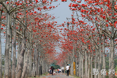 [臺南-花木] 白河林初埤-最美的木棉花道