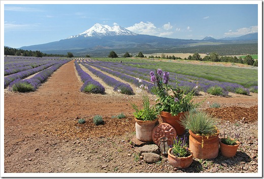 110710_Mt_Shasta_Lavender_Farm_91