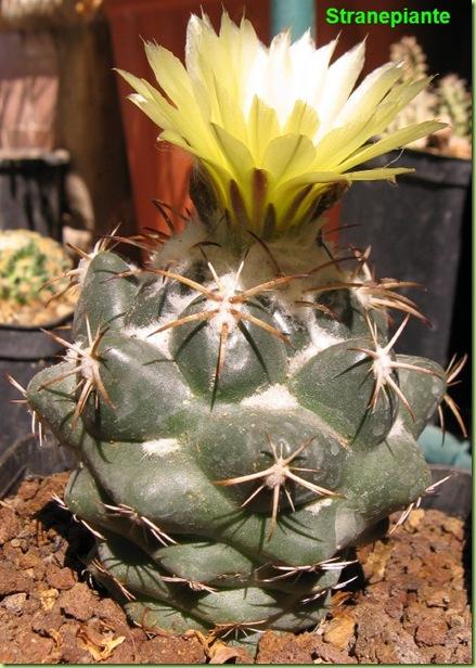 Coryphantha sulcolanata fioritura
