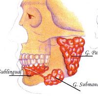 glandulas salivares.jpg