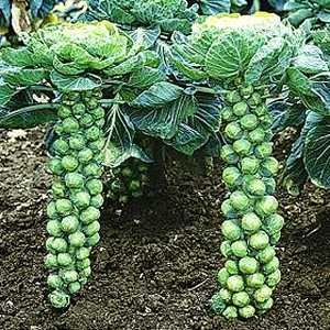 [growing-brussels-sprouts3.jpg]