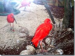 2008.05.26-011 ibis rouges