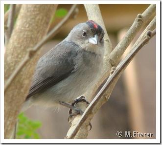 Coryphospingus cucullatus. Foto: M. Eiterer.