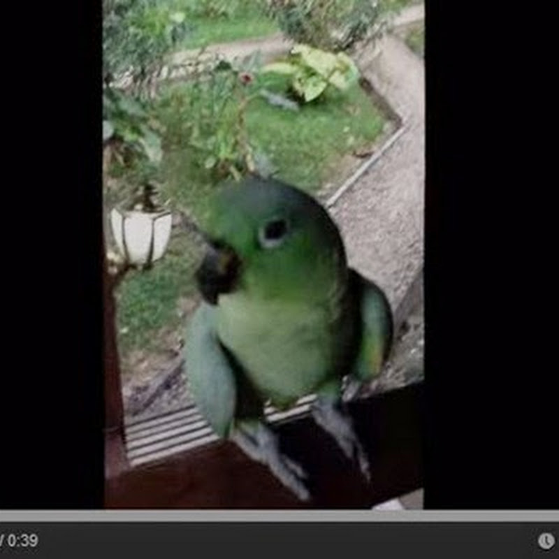 Ο παπαγάλος που γελάει