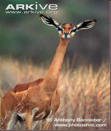 ARKive image GES028512 - Gerenuk