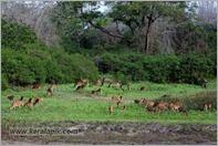 _P6A1764_cheetal_chital_deer_mudumalai_bandipur_sanctuary