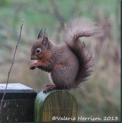 red Wet-Squirrel