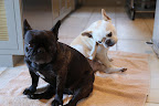 Fish like tilapia and salmon is low in mercury and good for dogs prone to itchy skin, like us Frenchies.