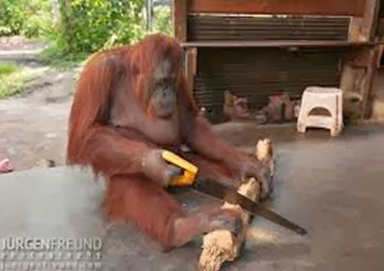 Amazing Pictures of Animals, Photo, Nature, Incredibel, Funny, Zoo, Bornean orangutan,Pongo pygmaeus, Primates, Alex (4)
