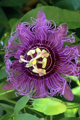 Purple-passion-fruit-flower