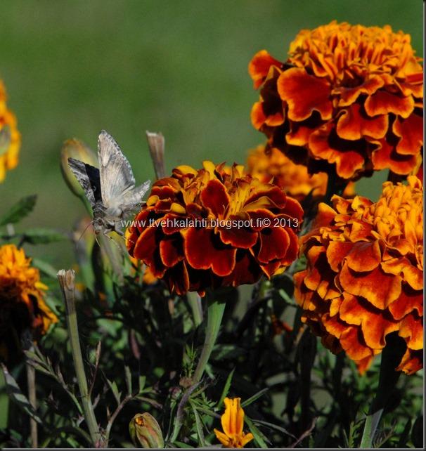 perhonen  sudenkorentoja 053