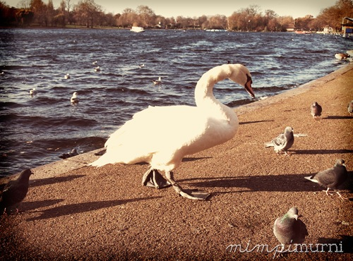 A swan at Serpentine Lake, Hyde Park. This fella was huge (with his neck extended he could've easily reached my shoulder!). I kept a good distance away from it, trust me.