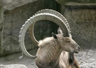 Amazing Pictures of Animals, Photo, Nature, Incredibel, Funny, Zoo, Alpine ibex, Capra ibex, Mammalia, Alex (21)