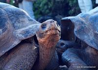 einzigartige Riesen-Schildkröten