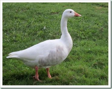 warhorse goose