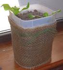 2 week summercrisp lettuce with burlap splasher cover (ribbon detail varies)