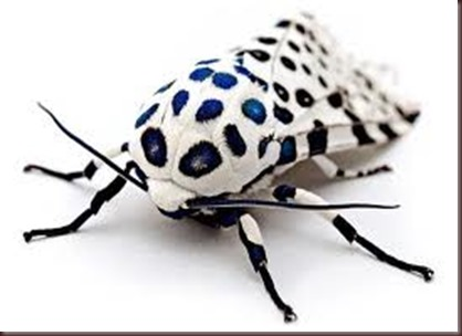 Amazing Pictures of Animals photo Nature exotic funny incredibel Zoo giant leopard moth, insect.Alex (5)
