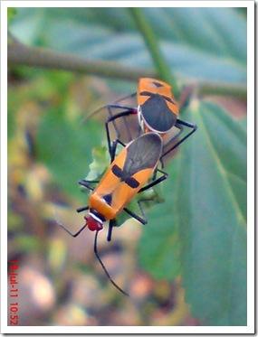 Dysdercus cingulatus Mating
