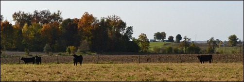 cows in the fall2