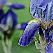 blueirises2sh1.jpg