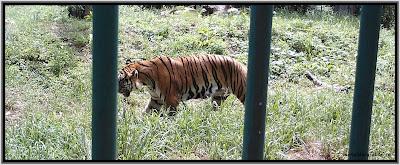 tigru.jpg