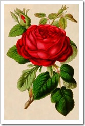 redrose-gfairy