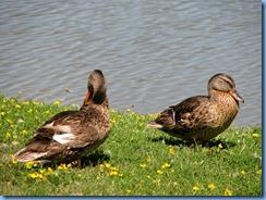4058 Indiana - Fort Wayne, IN - Best Western Luxbury Inn - in front of hotel - Mallard ducks