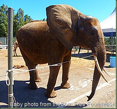 Af_elephant__Circo_Marin__Italy_092014__86_