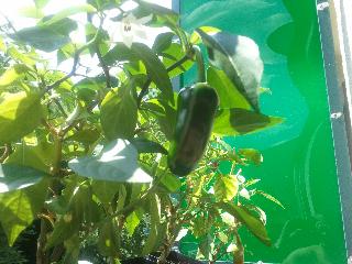 craigs jalapeno grande