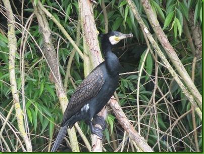 004  Cormorant