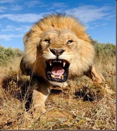 Amazing Animals Pictures Lion  (10)