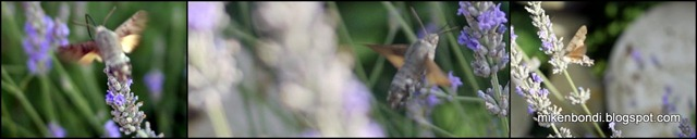 hummingmoth