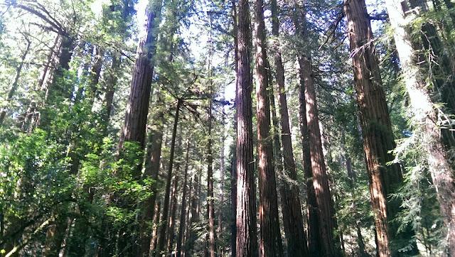 secuoyas de los  bosques Muir