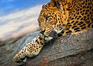 Amazing Pictures of Animals, Photo, Nature, Incredibel, Funny, Zoo, Leopard,Panthera pardus, Mammals, Carnivora, Alex (16)