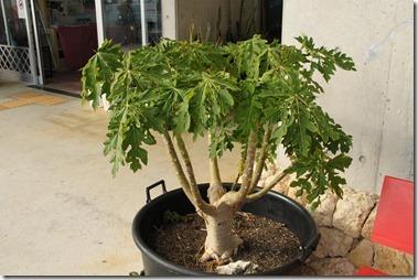 不思議なパパイヤの木